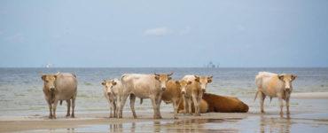 cows stand at North Carolinas Outer Banks