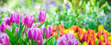 spring tulips blooming in the sun