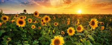 sunflowers in a field with the rising sun