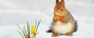 a small squirrel in the snow staring at a flower blooming