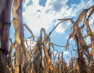 dry corn crops against sun in blue sky
