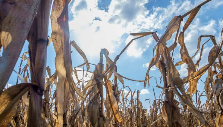 dry corn crops against sun in blue sky