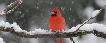 cardinal sits on snowy tree branch