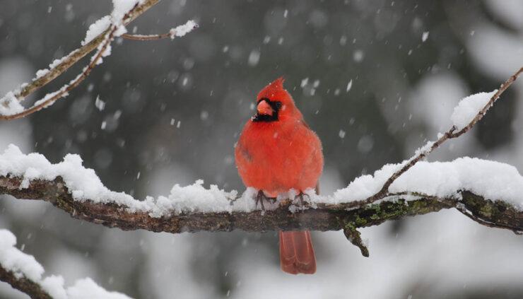 cardinal sits on snowy tree branch