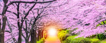 pathway under cherry blossoms