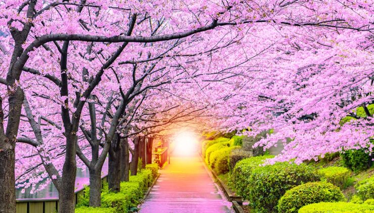 pathway under cherry blossoms